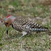 Pic flamboyant femelle, Northern Flicker, Colaptes auratus<br /> 4764, St-Hugues, Quebec, 27 avril 2011