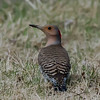Pic flamboyant femelle, Northern Flicker, Colaptes auratus<br /> 4799, St-Hugues, Quebec, 27 avril 2011