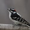 Pic mineur male, Downy woodpecker,  Dryobates pubescens (Picoides pubescens), Picidae, Piciformes<br /> 0264, St-Hugues, Québec, 2010