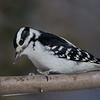 Pic chevelu femelle, Hairy woodpecker, Leuconotopicus villosus( Picoides villosus) , Picidae, Piciformes<br /> 1024, St-Hugues, Québec, 2010