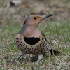 Pic flamboyant femelle, Northern Flicker, Colaptes auratus<br /> 4727, St-Hugues, Quebec, 27 avril 2011