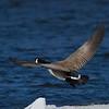 Bernache du Canada, Canada Goose, Branta canadensis<br /> 1587, Elgin, chemin du Lac Moonlight, Quebec, 3 avril 2011