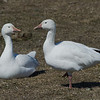 Oie des neiges, Snow Goose, Chen caerulescens<br /> 2579, Baie-du-Febvre, Quebec, 8 avril 2011