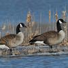 Bernache du Canada, Canada Goose, Branta canadensis, Anatidae, Anseriformes<br /> 2038, Baie-du-Febvre, Quebec, 8 avril 2011