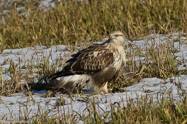 Oiseaux de proie, Falconiformes