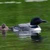 Plongeon huard, Common Loon, Gavia immer<br /> 9790, Lac des Trois Montagnes, Laurentides,<br /> Quebec<br /> 30 Juillet 2011