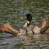 Plongeon huard, Common Loon, Gavia immer<br /> 0025, Lac des Trois Montagnes, Laurentides,<br /> Quebec<br /> 30 Juillet 2011