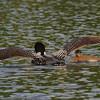 Plongeon huard, Common Loon, Gavia immer<br /> 0023, Lac des Trois Montagnes, Laurentides,<br /> Quebec<br /> 30 Juillet 2011