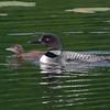 Plongeon huard, Common Loon, Gavia immer<br /> 9960, Lac des Trois Montagnes, Laurentides,<br /> Quebec<br /> 30 Juillet 2011