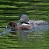 Plongeon huard, Common Loon, Gavia immer, Gaviidae, Gaviiformes<br /> 9884, Lac des Trois Montagnes, Laurentides, Quebec, 30 Juillet 2011