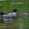 Plongeon huard, Common Loon, Gavia immer<br /> 9795, Lac des Trois Montagnes, Laurentides,<br /> Quebec<br /> 30 Juillet 2011