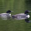 Plongeon huard, Common Loon, Gavia immer<br /> 9750, Lac des Trois Montagnes, Laurentides,<br /> Quebec<br /> 30 Juillet 2011