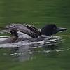 Plongeon huard, Common Loon, Gavia immer<br /> 9727, Lac des Trois Montagnes, Laurentides,<br /> Quebec<br /> 30 Juillet 2011