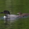 Plongeon huard, Common Loon, Gavia immer<br /> 0051, Lac des Trois Montagnes, Laurentides,<br /> Quebec<br /> 30 Juillet 2011