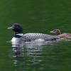 Plongeon huard, Common Loon, Gavia immer<br /> 9528, Lac des Trois Montagnes, Laurentides,<br /> Quebec<br /> 30 Juillet 2011