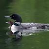 Plongeon huard, Common Loon, Gavia immer<br /> 9548, Lac des Trois Montagnes, Laurentides,<br /> Quebec<br /> 30 Juillet 2011