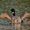 Plongeon huard, Common Loon, Gavia immer<br /> 0027, Lac des Trois Montagnes, Laurentides,<br /> Quebec<br /> 30 Juillet 2011