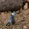 Sittelle à poitrine blanche ,White-breasted Nuthatch<br /> 7006,St-Hugues,Quebec