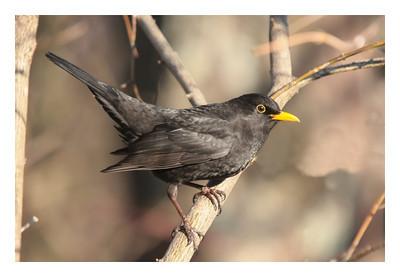 Merle noir mâle- Turdus merula- Blackbird male