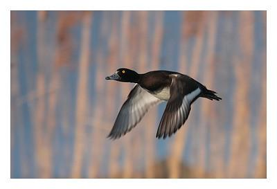 Les Grangettes- Fuligule Morillon mâle-Aythya fuligula-Tufted duck