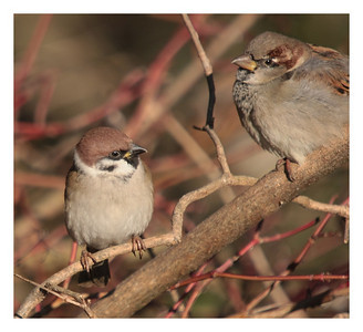 Moineau Friquet et Moineau Domestique  Tree sparrow and House sparrow