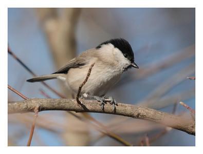 Mésange Nonnette-Parus palustris-Marsh Tit