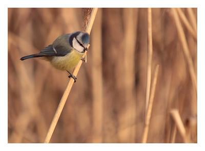 Mésange Bleue - Parus caeruleus-Blue Tit