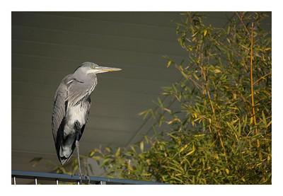 Pully- Héron gris sur la rambarde d'un balcon  Grey heron on a balconie