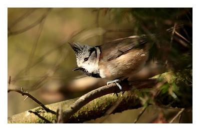 Mésange hupée-Parus cristatus-Crested tit