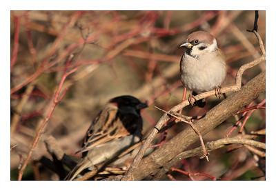 Moineau Friquet-Passer montanus- Tree sparrow