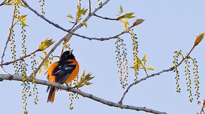 Oriole de Baltimore - Parc de la Frayère le 05 avril 2012