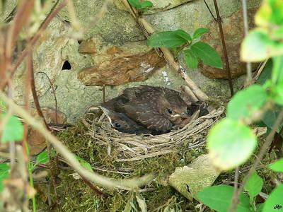2006 - Merles noir prêt à sortir du nid