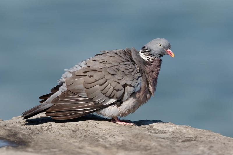 pigeon-2287