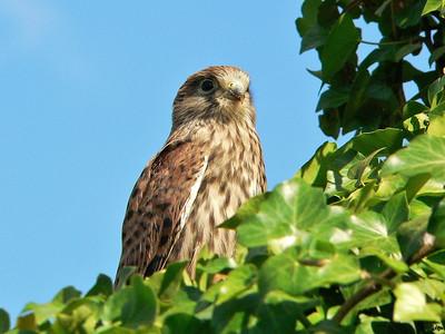 2005 - Jeune faucon crécerelle tout juste sorti du nid