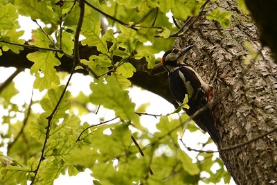 2014 - Pic épeiche se rendant au nid