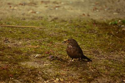 2014 - Merle noir femelle allant au nid