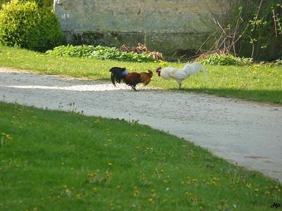 2010 - Combat de coq dans la basse-cour