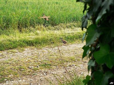 2005 - Superposition de 2 photographies d'une perdrix rouge avant et après le décolage