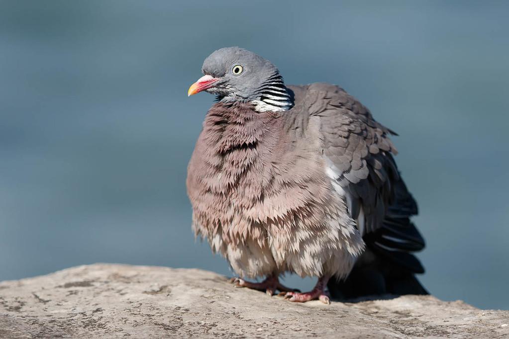 pigeon-2118