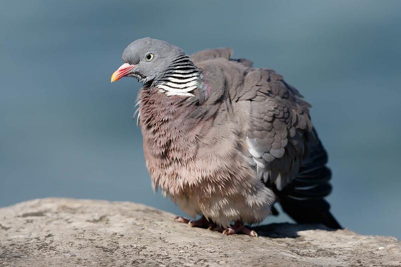 pigeon-2143