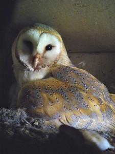 2010 - Chouette effraie sur son nid (le même nid que celui du faucon en 2009)
