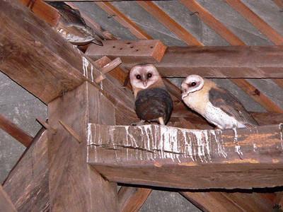 2005 - Jeunes chouettes effraies sorties du nid il y a peu