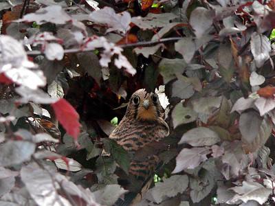 2007 - Jeune faucon crécerelle tout juste sorti du nid