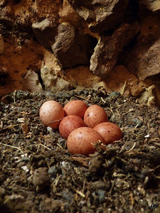 2010 - Oeufs de faucon crécerelle