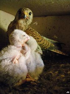 2009 - faucon crécerelle avec ses trois oisillons