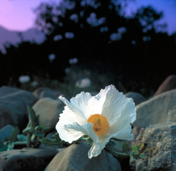 Matilija Poppy on Stone Wall Ojai Valley  Color of Ojai , Light & Spirit