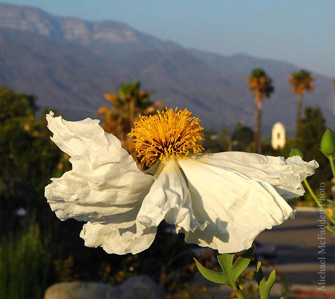 Matilija Poppy in downtown Ojai, post office towerr and topa topa in fuzzy background