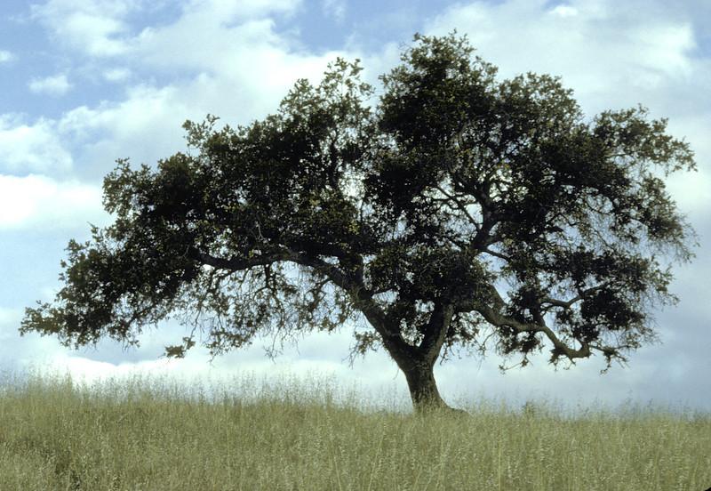 lone oak tree-2