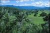 Ceanothus Blue Blossom Open Space Ojai Valley