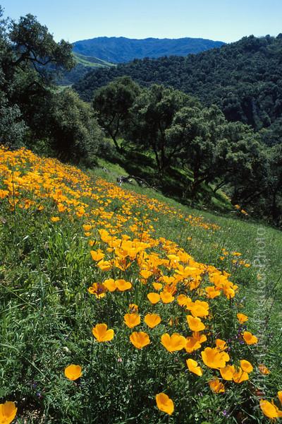 California Poppies Hollsides Ojai Valley  Color of Ojai   , Light & Spirit